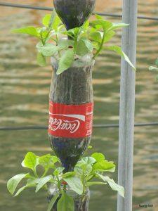Cách trồng rau sạch bằng chai nhựa - cach trong rau sach3 225x300