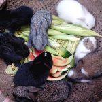 Cách xử lý thức ăn cho Thỏ - cach xu ly thuc an cho tho 1458357082 150x150