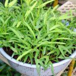 Cách trồng rau Muống đơn giản tại nhà - cachbotrivuonrautrongnha 14 150x150