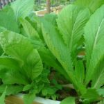 Cách trồng rau Cải xanh trong thùng xốp - caixanh 300x225 150x150