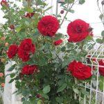 Cách chăm sóc hoa Hồng ra nhiều hoa
