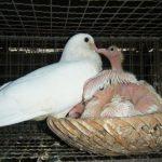 Cách chăm sóc Chim Bồ Câu non và chim Bồ Câu sinh sản - chim bo cau 150x150