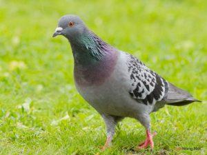 5 lưu ý để nuôi chim Bồ Câu năng suất cao - chim bo cau 300x225 1