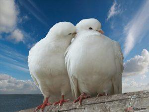5 lưu ý để nuôi chim Bồ Câu năng suất cao - chim bo cau1 300x225