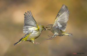 Những nguyên tắc vàng áp dụng để mua chim cảnh - chim canh de nuoi 300x194