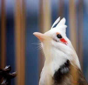 Cách dễ nhất để phân biệt chim Chào Mào trống và mái - chim chao mao 300x289