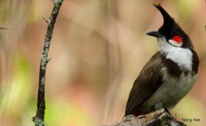 Cách dễ nhất để phân biệt chim Chào Mào trống và mái - chim chao mao mai 300x184