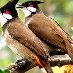 Cách dễ nhất để phân biệt chim Chào Mào trống và mái - chim chao mao trong 150x150