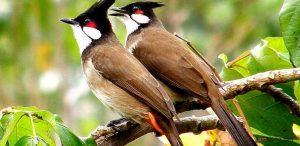 Cách dễ nhất để phân biệt chim Chào Mào trống và mái - chim chao mao trong 300x146