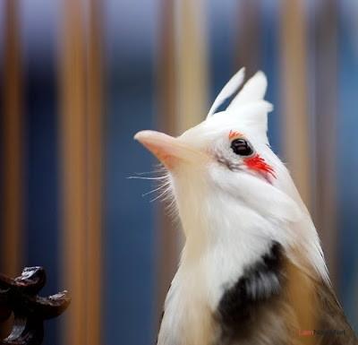 Cách nuôi chim Chào Mào giúp Chào Mào hót hay - Nuôi trồng ...