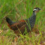 Phương pháp bẫy và chăm sóc chim Đa Đa thành công - chim da da 2 150x150