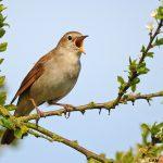 12 lưu ý cần biết khi nuôi chim Họa Mi - chim hoa mi1 150x150