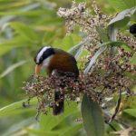 Kiến thức cơ bản về chim Họa Mi (Phần 2) - chim hoa mi2 289x300 150x150