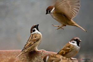 Bạn có biết loài chim học hót như thế nào? - chim se 300x200