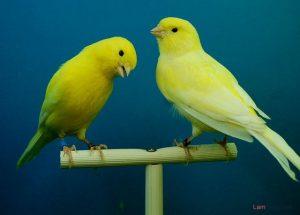 Chế độ dinh dưỡng khi nuôi chim Yến hót hay - chim yen hot 300x215