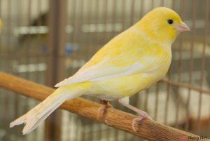 Chế độ dinh dưỡng khi nuôi chim Yến hót hay - chim yen hot1 300x201 1