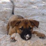 Tham khảo thời gian biểu sinh hoạt của Chó Phú Quốc từ 3 tới 6 tháng tuổi - cho phu quoc 1 150x150