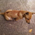 Hướng dẫn cách chăm sóc Chó Phú Quốc con hiệu quả - cho phu quoc1 150x150
