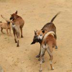 Phương pháp tuyển chọn Chó Phú Quốc - cho phu quoc2 768x512 150x150