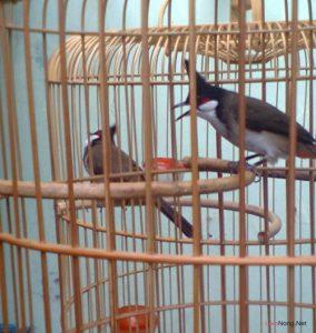 Những điều cần chú ý cho người mới nuôi chim cảnh - chu y khi nuoi chim canh hot1 284x300