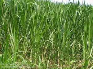 3 giống cỏ trong chăn nuôi Bò sữa năng suất cao - co voi nuoi bo sua 300x225 1