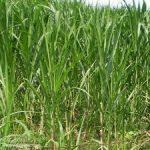 3 giống cỏ trong chăn nuôi Bò sữa năng suất cao