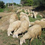 Mô hình nuôi Cừu sinh sản ở Ninh Thuận cho kết quả khả quan - cuu anco tunhien 150x150