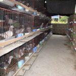 Kinh nghiệm nuôi chim Bồ Câu