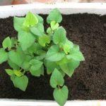 Hướng dẫn cách trồng rau thơm - diep ca1 300x225 150x150