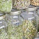 Cách trồng rau mầm bằng lọ thủy tinh đơn giản tại nhà