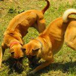 Một con Chó Phú Quốc đẹp có những đặc điểm gì? - dsc 0157 resize 1462776819 150x150