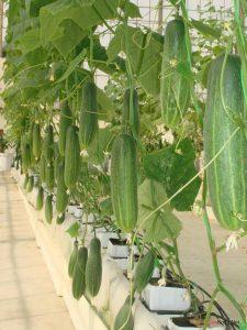 Hiện thực hóa ý tưởng trồng rau trên sân thượng - duachuot1 225x300