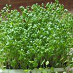 Cách trồng rau Muống bằng hạt rất đơn giản tại nhà - file 20150731 1515yz1pgkrpmm4p 150x150