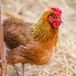 Tiêu chí theo dõi sức khỏe của đàn gà - ga cho thue pejx 1431224676576 150x150