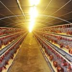 Bí quyết chăm sóc Gà đẻ trứng đều - ga de trung2 150x150