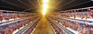 Bí quyết chăm sóc Gà đẻ trứng đều - ga de trung2 300x110