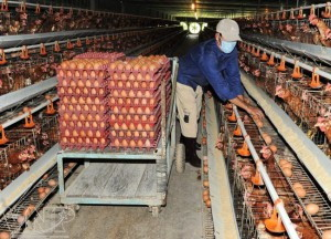 Bí quyết chăm sóc Gà đẻ trứng đều - ga de trung3 300x216