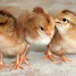 Cách nuôi Gà con mới nở giúp Gà con khỏe mạnh - ga giong 150x150