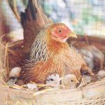Làm giàu với mô hình nuôi Gà ta lấy trứng - ga mai ap trung tu nhien 150x150
