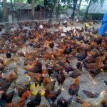 Kỹ thuật chăn nuôi Gà thương phẩm giống thịt - ga ta tha vuon chat luong minhdung1 150x150