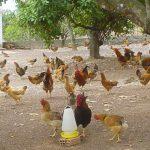 Một số vấn đề cơ bản cần quan tâm khi nuôi Gà thả vườn - ga tha vuon 1 150x150