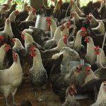 Kỹ thuật chăn nuôi giống Gà Ai Cập