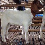 Cách chăm sóc, nuôi dưỡng Dê từ sơ sinh đến cai sữa - gallery 1 150x150