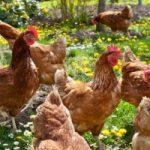 Các loại Gà hướng trứng nhập nội