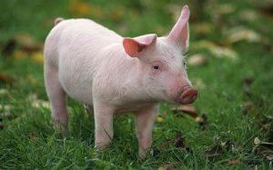 Chế độ dinh dưỡng chăn nuôi Heo siêu nạc như thế nào? - heo sieu nac 300x187