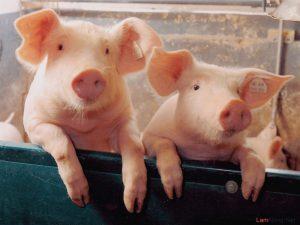 Chế độ dinh dưỡng chăn nuôi Heo siêu nạc như thế nào? - heo sieu nac1 300x225 1