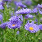 Phương pháp trồng và chăm sóc hoa Cúc tím - hoa cuc thach thao tim 300x201 150x150