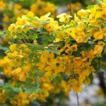 Nên trồng hoa gì trên sân thượng? (Phần 1) - hoa diep vang la gi va hoa diep vang no khi nao 18 150x150