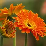 Cách trồng hoa Đồng Tiền đơn giản, dễ dàng - hoa dong tien 150x150