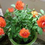 Cách trồng hoa Hồng leo cho hoa quanh năm